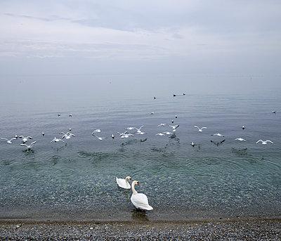 Vögel am Genfer See - p567m1530410 von Gaëlle Magder