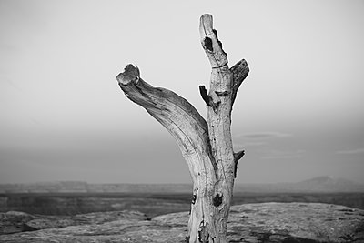 Tree remains on Muley Point, overlooking San Juan Canyon, Bears Ears National Monument, Utah - p1100m1451049 by Mint Images