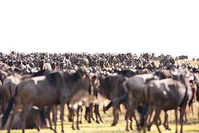 Wildebeest herd - p533m1215497 by Böhm Monika