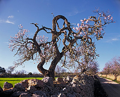 Almond trees blooming - p8850178 by Oliver Brenneisen