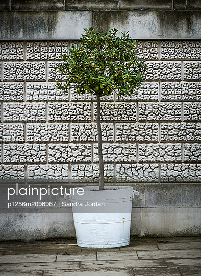 Potted Tree - p1256m2098967 by Sandra Jordan