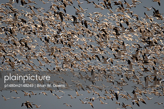 Snow Geese blast off from a field - p1480m2148249 by Brian W. Downs