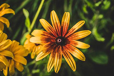 Chrysanthemum, close-up - p1295m2210088 by Katharina Bauer