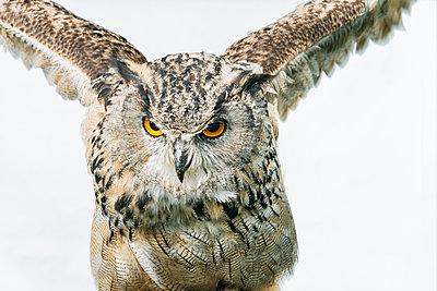 Eagle owl, Bubo bubo - p1437m2052891 by Achim Bunz