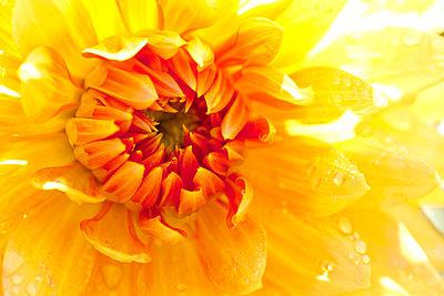 Yellow orange Cactus dahlia with water drops, close-up - p300m1191911 by Dieter Heinemann