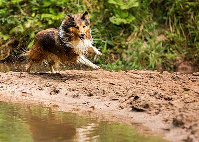 Germany, Shetland Sheepdog running at a pond - p300m975424f by Stefan Schurr