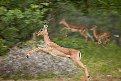 Female impala  running, Kruger National Park, South Africa, Africa - p871m1056791f by James Hager