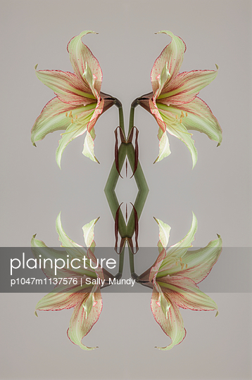 Abstract kaleidoscope of a cream and red amaryllis flower - p1047m1137576 by Sally Mundy