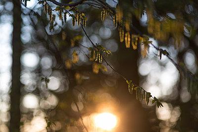 Wald im Sonnenuntergang - p1545m2134849 von Caroline Wimmer