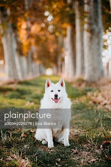 White dog sitting in way covered with trees at forest - p300m2225278 by Eva Blanco