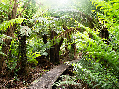 Path through green tree ferns, Wilson's Promontory National Park, Victoria, Australia - p429m2091567 by Elke Meitzel