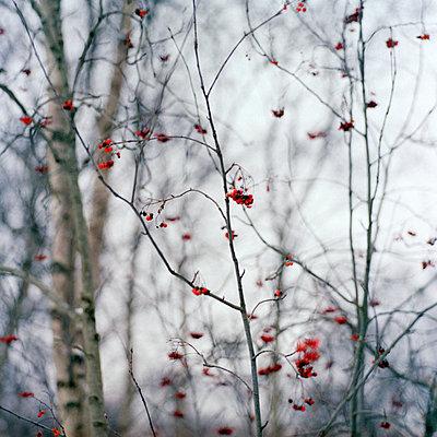 Vogelbeeren - p989m918162 von Gine Seitz