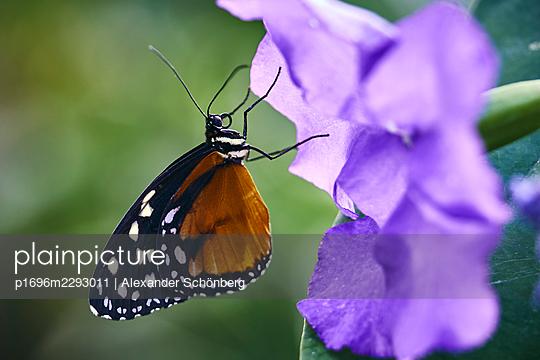 Little butterfly sitting on a flower - p1696m2293011 by Alexander Schönberg