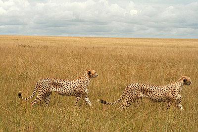 Geparden in der Wildnis - p5330005 von Böhm Monika