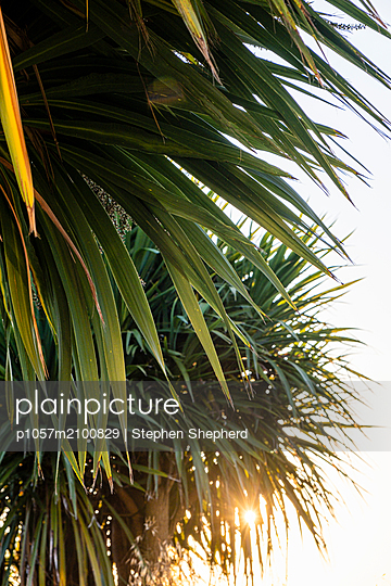 A large palm tree at sunset silhoutted against the setting sun. - p1057m2100829 by Stephen Shepherd
