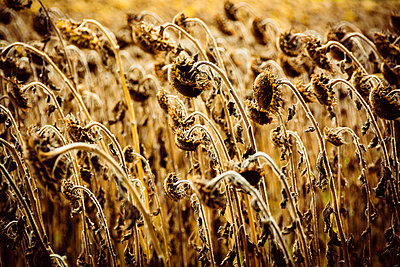 Field with withered sunflowers  - p813m1481223 by B.Jaubert