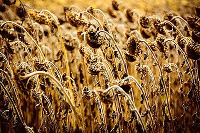 Vertrocknete Sonnenblumen auf einem Feld - p813m1481223 von B.Jaubert