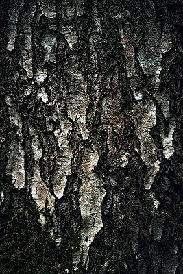 Tree bark, birch tree - p947m945800 by Cristopher Civitillo