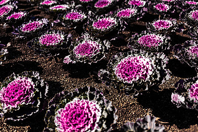 Red ornamental cabbage - p1271m1553178 by Maurice Kohl