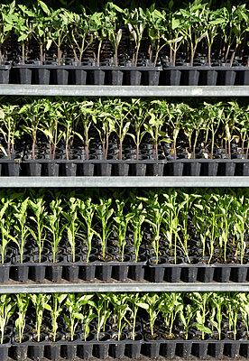 Tomatenpflanzen in einem Regal - p1657m2263542 von Kornelia Rumberg
