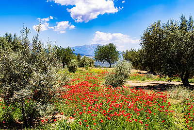 Spain, Andalusia, Olive grove, olive trees and poppies in spring - p300m1156889 by Scott Masterton