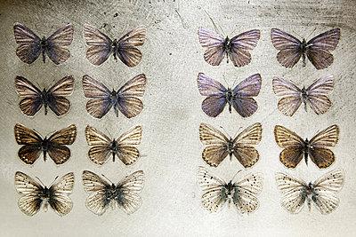 Schmetterlingssammlung - p4150635 von Tanja Luther