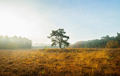Field with heather between woods on autumn morning, Wouw, Netherlands - p429m1206993 by Mischa Keijser