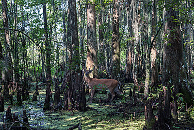 Deer in the Bayou - p1329m1172339 by T. Béhuret