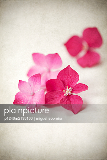 Several hydrangea blossoms - p1248m2193183 by miguel sobreira
