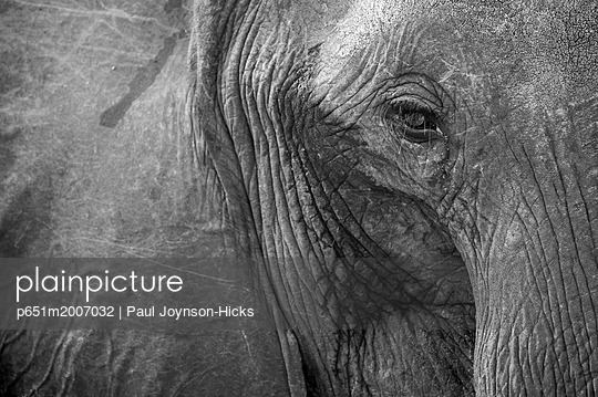 Close up of African elephant heaad and eye, Serengeti National Park, Black and white - p651m2007032 by Paul Joynson-Hicks