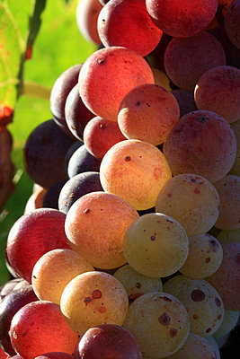 Agriculture, Closeup of a cluster of maturing white wine grapes on the vine, near Woodland, California, USA. - p442m936640f by Kenny Calhoun