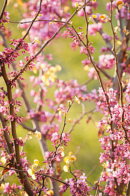 Redbud tree branches in full bloom - p624m710743f by Odilon Dimier