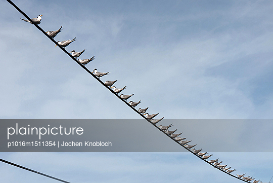 Sea swallows - p1016m1511354 by Jochen Knobloch