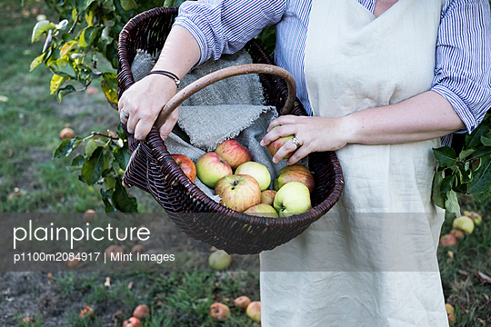 High angle close up of person wearing apron holding brown wicker basket with freshly picked apples. - p1100m2084917 by Mint Images