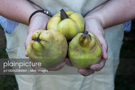 Close up of person holding three quinces. - p1100m2084941 by Mint Images