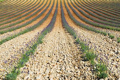 Lavendelfeld, bei Valensole, Plateau de Valensole, Alpes-de-Haute-Provence, Provence, Frankreich - p1316m1161007 von Daniel Schoenen