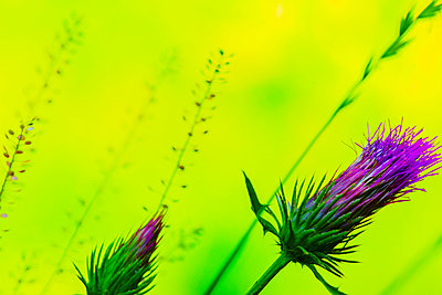 Close up of purple flowers - p555m1463826 by Eric Raptosh Photography