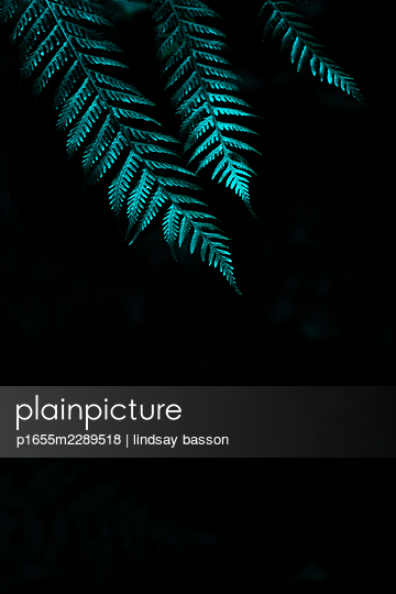 Ferns Against A Black Background - p1655m2289518 by lindsay basson