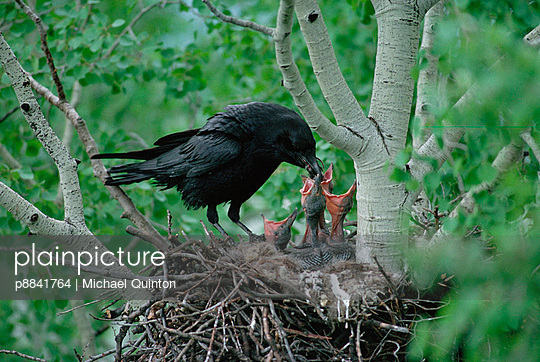 Common Raven parent feeding its week old chicks in their nest