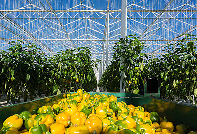 Harvested peppers in greenhouse, Zevenbergen, North Brabant, Netherlands - p429m1569706 by Mischa Keijser
