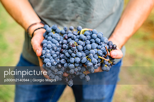 Close-up of man holding red grapes in vineyard - p300m2140944 by Giorgio Magini