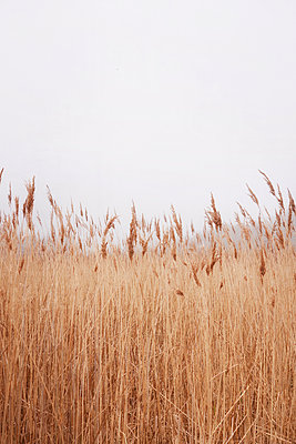 Reed under grey sky - p597m1332406 by Tim Robinson