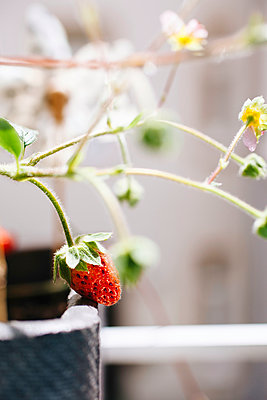 Strawberry - p728m918220 by Peter Nitsch