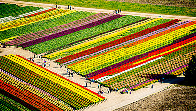 Aerial view of rows of tulip fields - p924m1030259f by Pete Saloutos