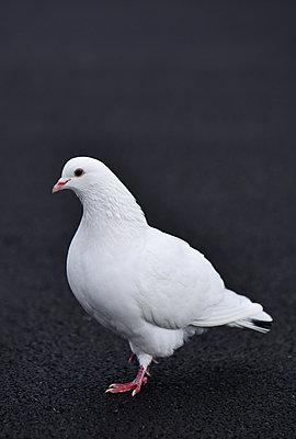 White pigeon - p1695m2290859 by Dusica Paripovic