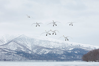 Whooper Swan, Cygnus cygnus, mid-air in winter. - p1100m1520115 by Mint Images