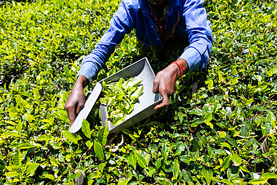 Picking tea with shears in a plantation in Sri Lanka - p590m2090545 by Philippe Dureuil