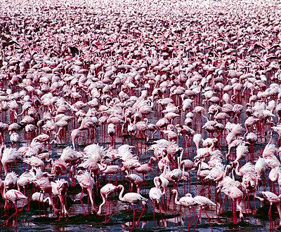 Flamingo - p6520426 by Nigel Pavitt