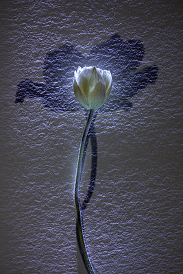 Anemone hupehensis - p676m1104574 by Rupert Warren