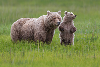 Grizzly Bear mother and cub in grass, Lake Clark National Park, Alaska - p884m1136206 by Ingo Arndt